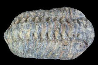 Buy Small Enrolled Acastoides Trilobite Fossil - Morocco - #76417