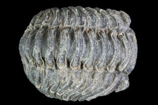 Acastoides - Fossils For Sale - #76428