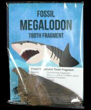 "Wholesale: Fossil Megalodon Partial Tooth (3-4"") - 10 Pieces For Sale, #76736"