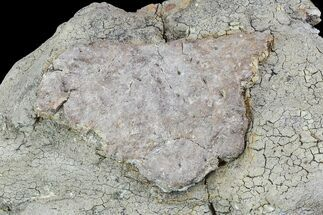 "3.2"" Ankylosaur Scute In Matrix - Aguja Formation, Texas For Sale, #76745"