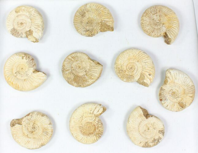"Wholesale Lot: 3"" Perisphinctes Ammonite Fossils - 10 Pieces"