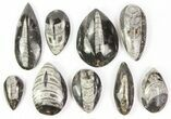 Wholesale Lot: Polished Orthoceras Fossils Assorted Sizes - 100 Pieces - #77277-1