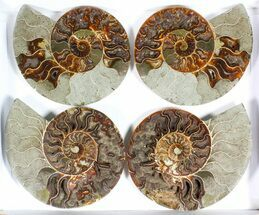 Cleoniceras - Fossils For Sale - #77331