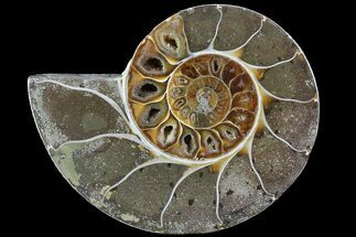 "Buy Bargain, 4"" Thick Ammonite (Anapuzosia) Fossil Half - #77416"