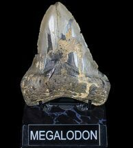 "Bargain, 4.86"" Megalodon Tooth - North Carolina For Sale, #77543"