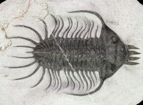 Trilobites For Sale