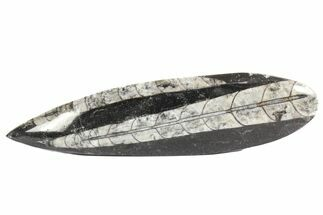 Orthoceras regulare - Fossils For Sale - #77565