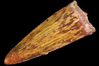 ".99"" Juvenile Spinosaurus Tooth - Real Dinosaur Tooth For Sale, #77741"