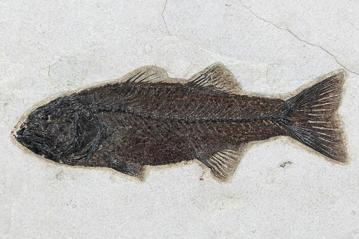 "Excellent, 9.2"" Mioplosus Fossil Fish - Wyoming"