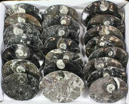 "Buy Wholesale Lot:  5"" Goniatite Fossil Dishes - 48 Pieces - #77758"