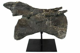 "13.5"" Diplodocus Caudal Vertebrae With Metal Stand - Colorado For Sale, #77918"