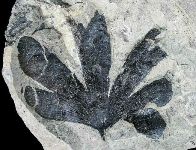 "2.1"" Wide, Early Cretaceous Gingko Leaf - Germany"