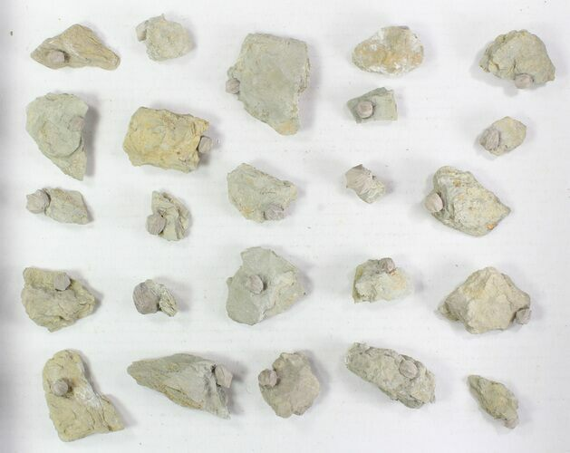 Wholesale Lot of Blastoid Fossils On Shale - 24 Pieces