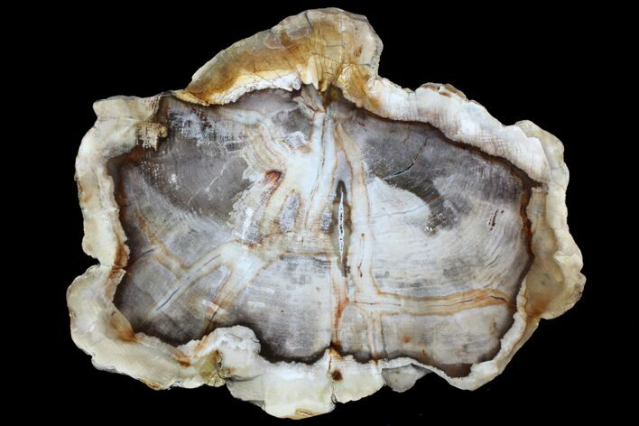 "9.6"" Petrified Wood (Cedar) Slab - Vantage, Washington"