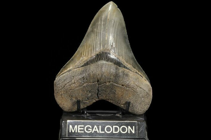 "Serrated, 5.30"" Fossil Megalodon Tooth - Georgia"