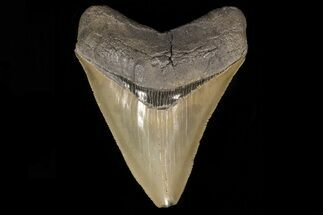 Carcharocles megalodon - Fossils For Sale - #78192