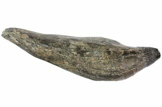 "5.1"" Fossil Sperm Whale (Scaldicetus) Tooth For Sale, #78218"