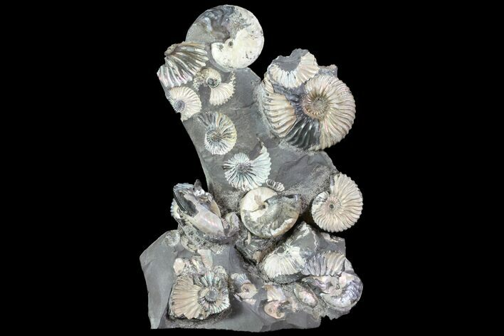 "Gorgeous, 7.7"" Tall Iridescent Ammonite Cluster - Russia"