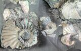 "Gorgeous, 7.7"" Tall Iridescent Ammonite Cluster - Russia - #78534-4"