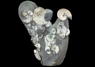"Buy Gorgeous, 8.3"" Tall Iridescent Ammonite Cluster - Russia - #78535"