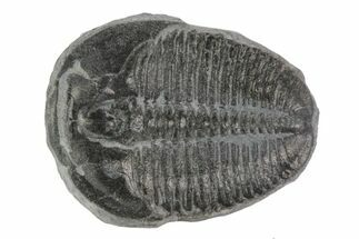 Elrathia kingii - Fossils For Sale - #78981