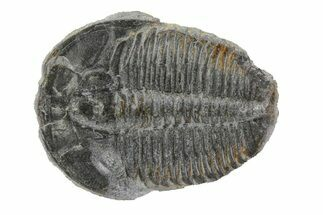 Elrathia kingii - Fossils For Sale - #79005