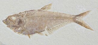 "Detailed, 5.65"" Diplomystus Fossil Fish - Wyoming For Sale, #79058"