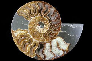 "Buy 6.9"" Cut Ammonite Fossil (Half) - Agatized - #79162"