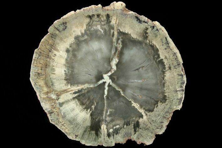 "3.5"" Triassic Petrified Wood (Woodworthia) Slab - Zimbabwe"
