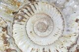 "Monster, 19.3"" Jurassic Ammonite Fossil - Madagascar - #79451-1"