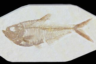 "Detailed, 3.6"" Diplomystus Fossil Fish - Wyoming For Sale, #79976"