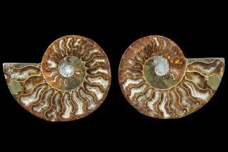 Cleoniceras - Fossils For Sale - #78390