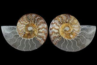 Cleoniceras - Fossils For Sale - #79713