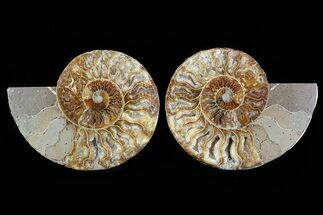 Cleoniceras - Fossils For Sale - #78585