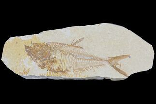 "Buy Detailed, 4.2"" Diplomystus Fossil Fish - Wyoming - #79981"