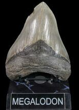 Carcharocles megalodon - Fossils For Sale - #80067