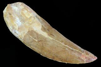 "Large, 3.81"" Carcharodontosaurus Tooth - Real Dinosaur Tooth For Sale, #80612"