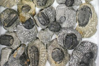Wholesale Lot: Assorted Devonian Trilobites - 30 Pieces For Sale, #80636