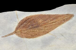 Celtis aspera - Fossils For Sale - #80787