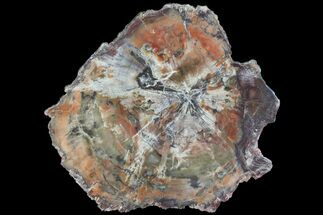 "6.7"" Polished Petrified Wood (Araucaria) Slab - Arizona  For Sale, #80897"