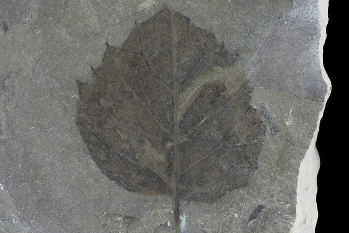 "1.5"" Fossil Poplar (Populus) Leaf - Green River Formation"