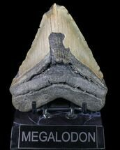 Carcharocles megalodon - Fossils For Sale - #80109