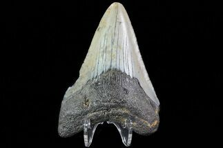 Carcharocles megalodon - Fossils For Sale - #80835