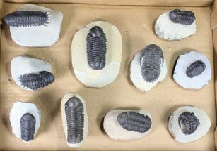 Various - Fossils For Sale - #80736