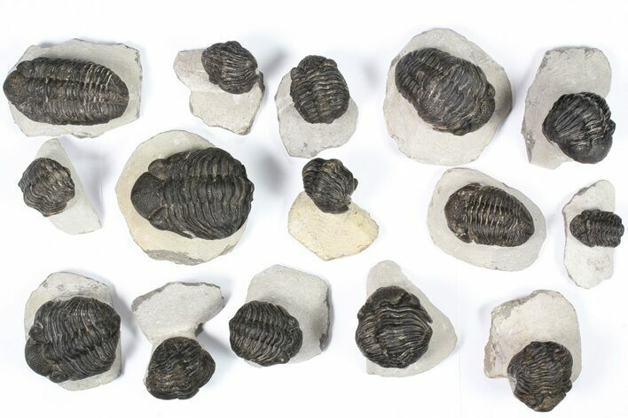 "Wholesale Lot: Bargain, 2-3"" Pedinopariops Trilobites - 15 Pieces"