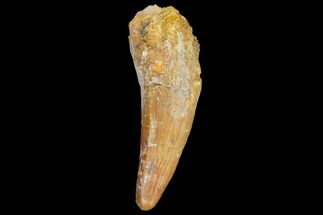"1.7"" Fossil Crocodile (Elosuchus) Tooth - Morocco For Sale, #81038"