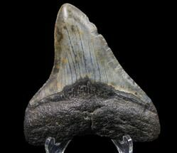 Carcharocles megalodon - Fossils For Sale - #80820