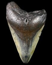 "Bargain, 3.58"" Megalodon Tooth - North Carolina For Sale, #80870"