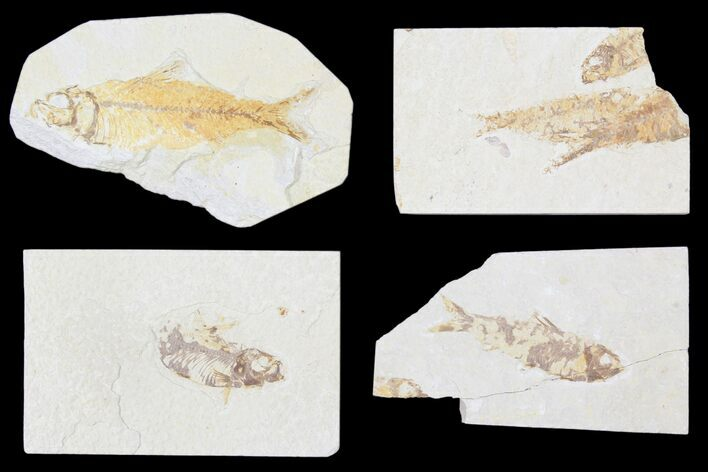 "Wholesale Lot: Cheap 1.5 to 4"" Green River Fossil Fish - 68 Pieces"