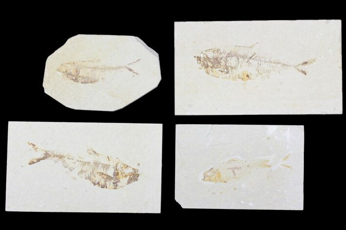 "Wholesale Lot: Cheap, 1.5 to 3"" Green River Fossil Fish - 64 Pieces"